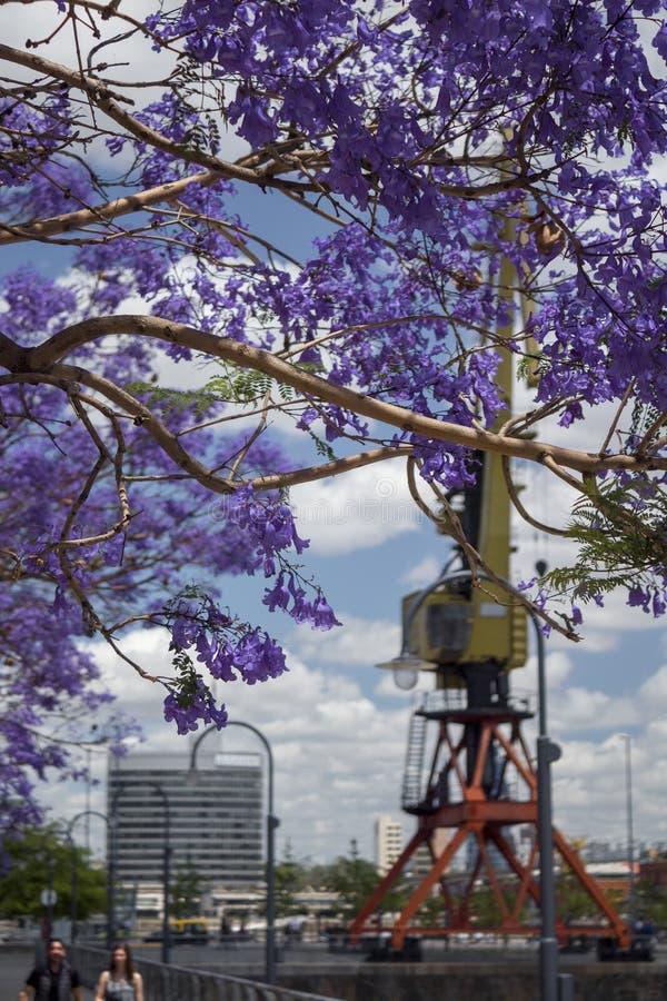 Purpurfärgad jakaranda i blom och färgrik kran arkivfoton