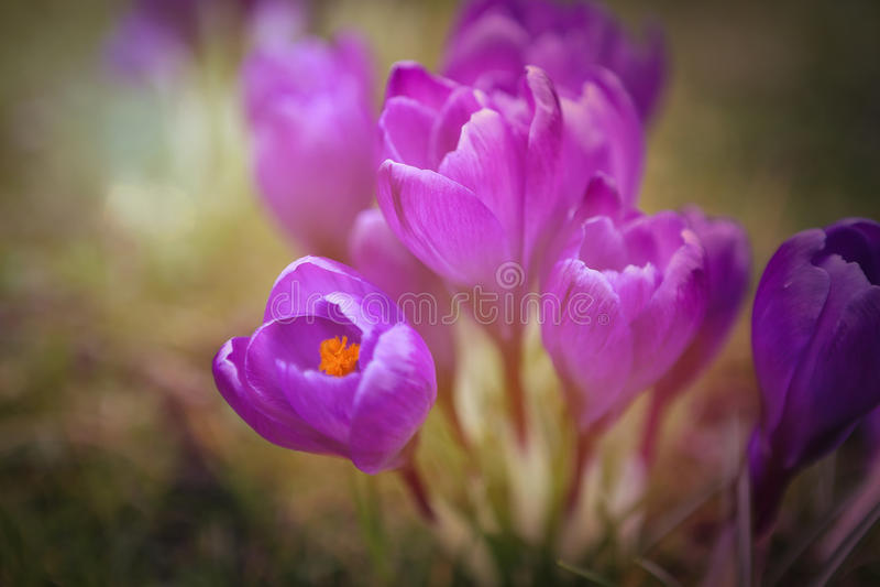 Purpurfärgad krokus royaltyfri foto