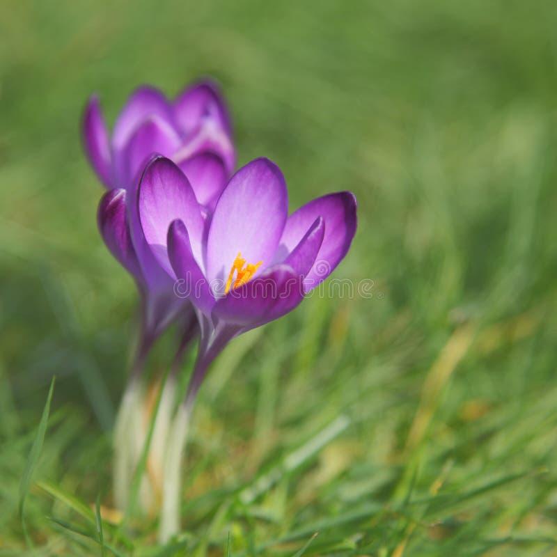 Purpurfärgad krokus blommar med suddig bakgrund royaltyfri fotografi