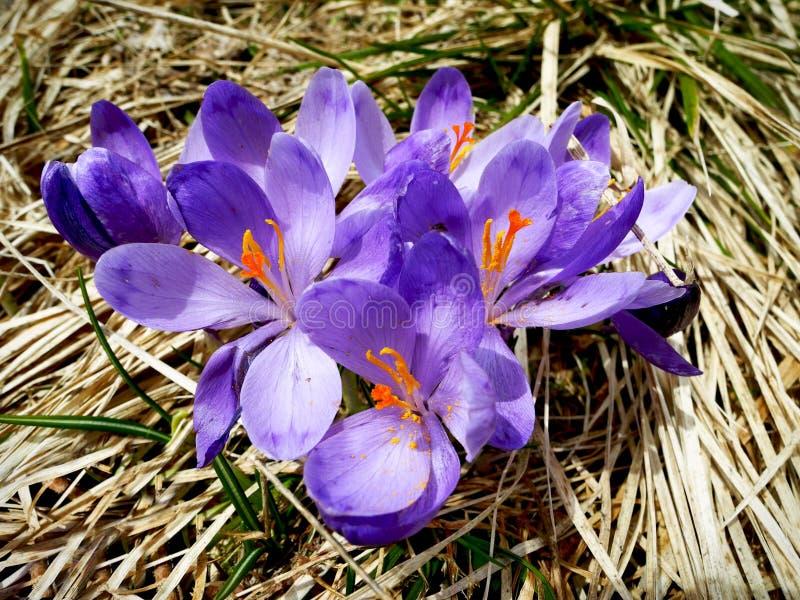 Purpurfärgad krokus blommar med torrt gräs på badkgrounden arkivfoton