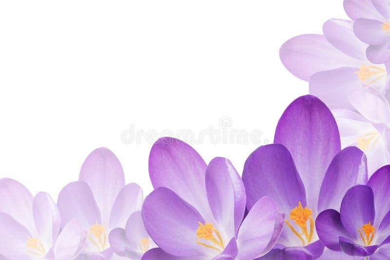 Purpurfärgad krokus blommar på den vita bakgrunden arkivbilder