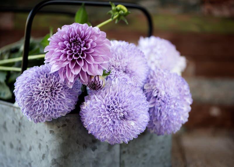 Purpurfärgad krysantemumblomma och dahlia, i att göra suddig för metallkorg royaltyfria foton