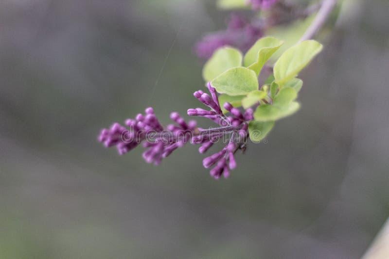 Purpurfärgad lös blomma i blomnärbild arkivbild