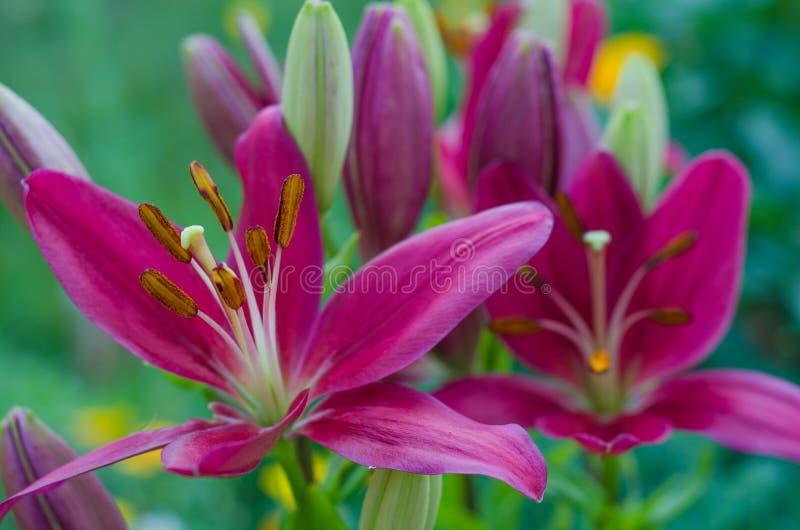 Purpurfärgad lilja på en kulör bakgrund i trädgården royaltyfria bilder