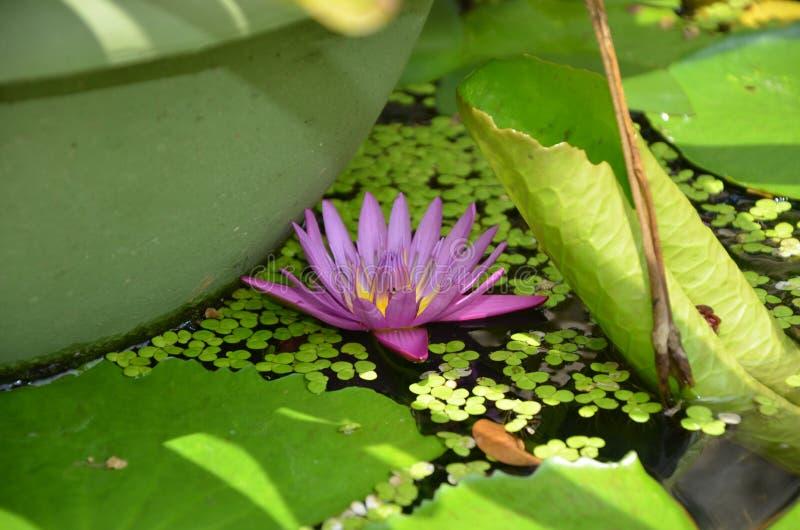 Purpurfärgad liljablomma i fontain royaltyfri foto