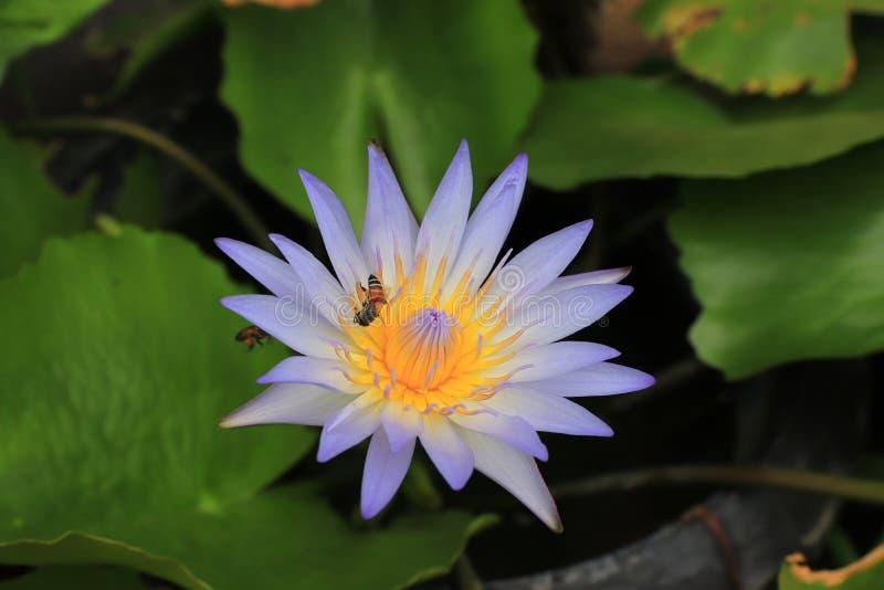 Purpurfärgad lotusblomma är den härliga blomman och biet på grön naturbackgro royaltyfri foto