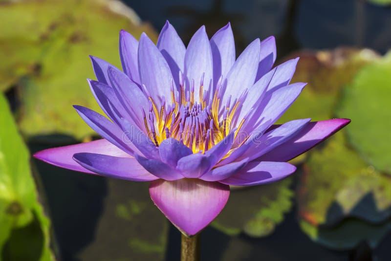 Purpurfärgad lotusblomma för blomma i dammnärbilden arkivfoto