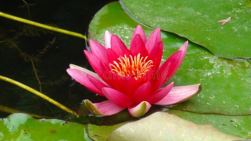 Purpurfärgad lotusblomma i parkerar royaltyfri fotografi