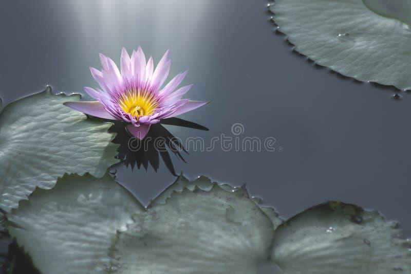 Purpurfärgad lotusblommablomma och ljus som skiner royaltyfri bild