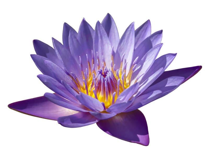 Purpurfärgad lotusblommanärbild för blomma på vit bakgrund arkivbild
