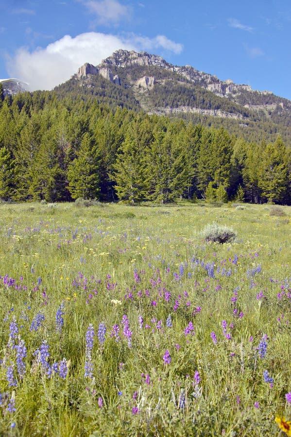Purpurfärgad lupine och berg i den hundraårs- dalen nära Lakeview, MT arkivfoto