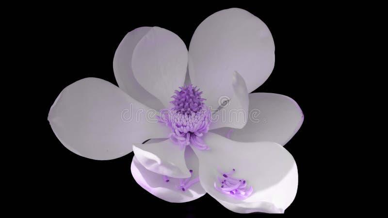 Purpurfärgad magnoliablomma royaltyfria bilder