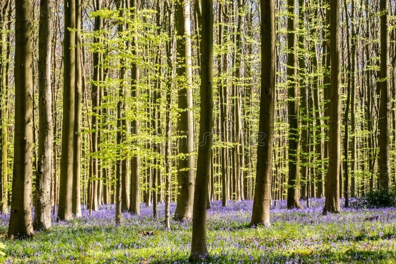 Purpurfärgad matta av att blomma blåklockor i den blåa skogen, Belgien arkivbild