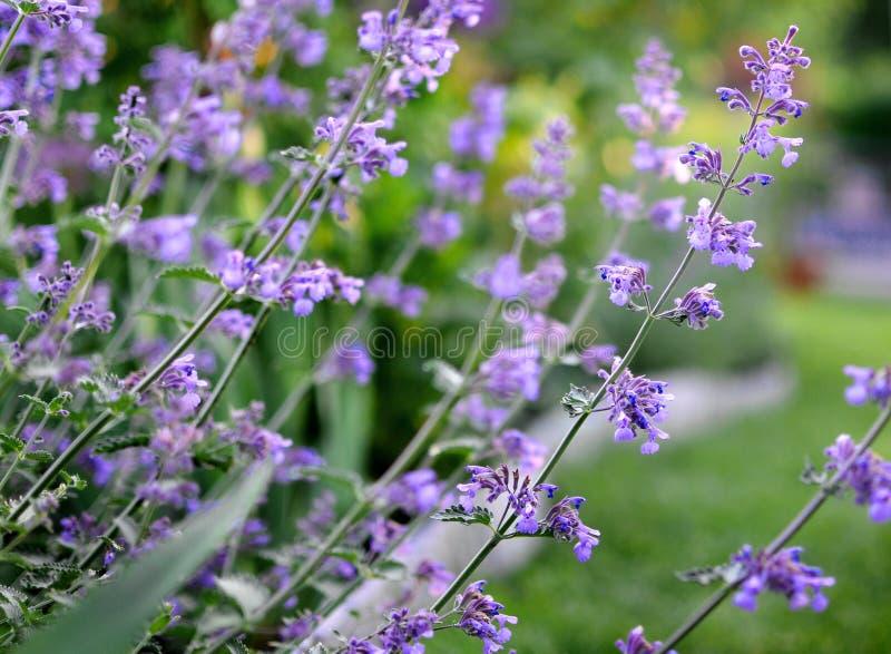 Purpurfärgad mintkaramell Herb Flowers som växer utomhus- i en trädgård, mediterran fotografering för bildbyråer