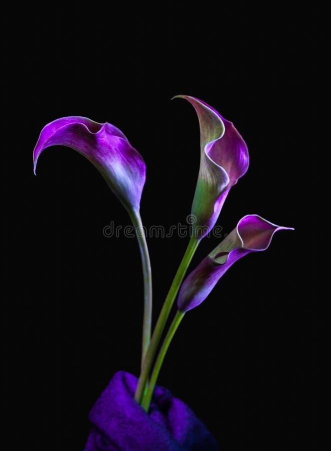 Purpurfärgad och rosa tre Calla Lillies på svart bakgrund fotografering för bildbyråer