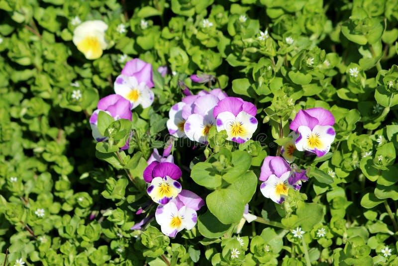 Purpurfärgad och vit lös pensé för Bicolor ljus - eller tricolor små lösa blommor för altfiol med ljusa kronblad som planteras i  fotografering för bildbyråer
