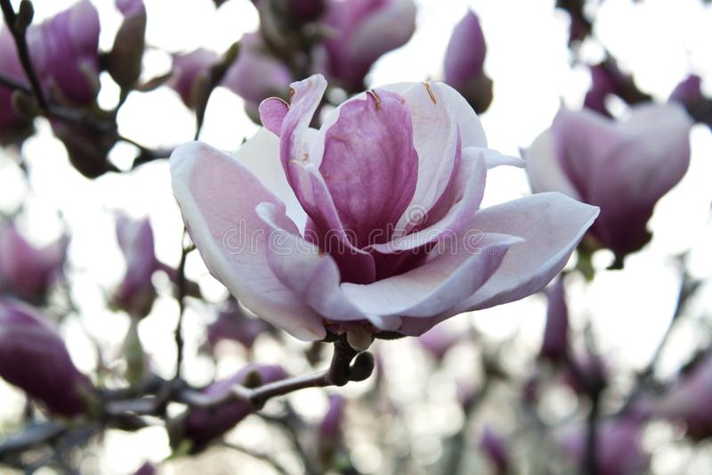 Purpurfärgad och vit magnoliablomma fotografering för bildbyråer