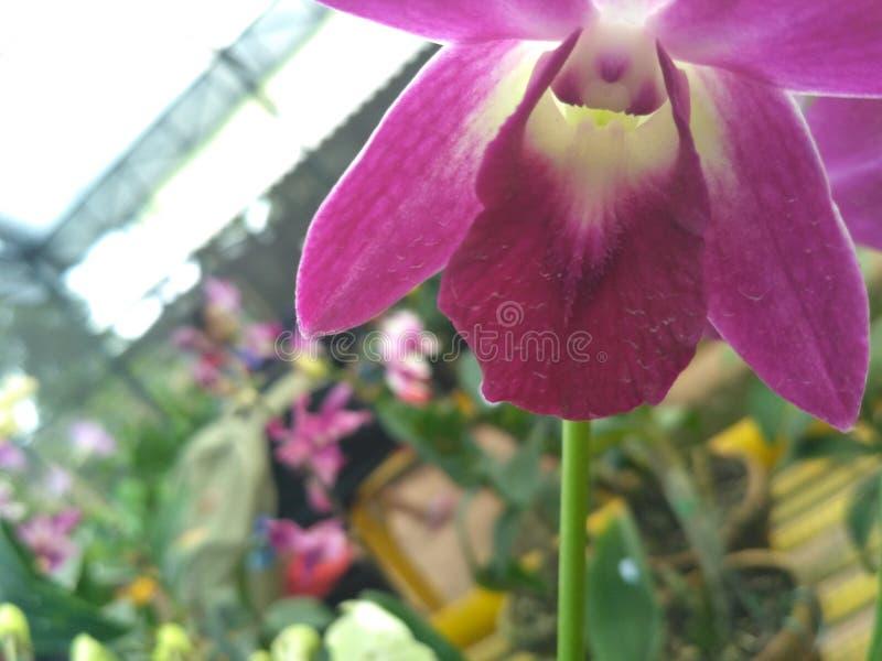 Purpurfärgad orchid arkivbild