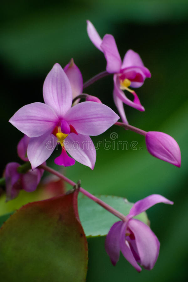 Purpurfärgad orchid royaltyfria foton