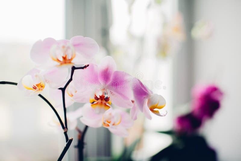 Purpurfärgad orkidé på fönsterbräda home v?xter f?r omsorg arkivfoto