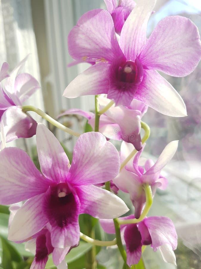 Purpurfärgad orkidéblomma på fönster arkivfoton