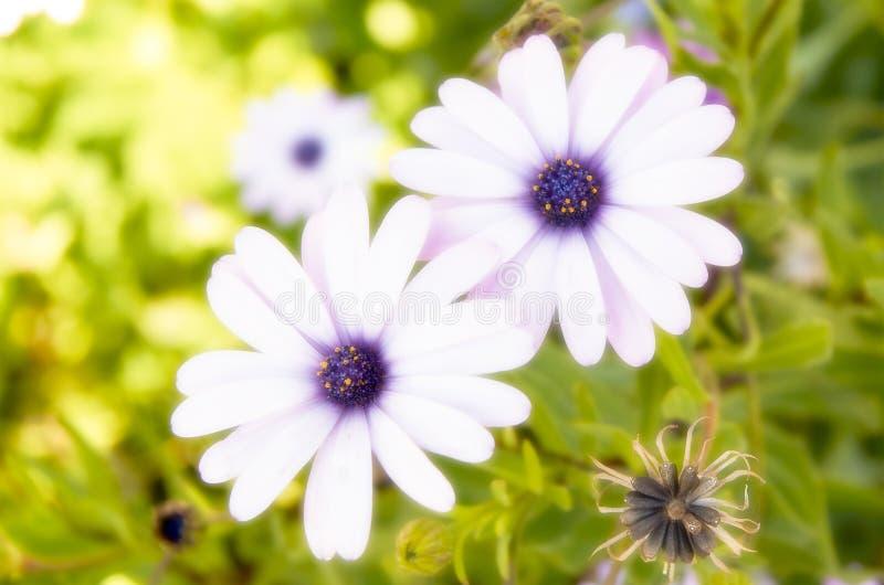 Purpurfärgad ortoneffekt för tusenskönor royaltyfria foton