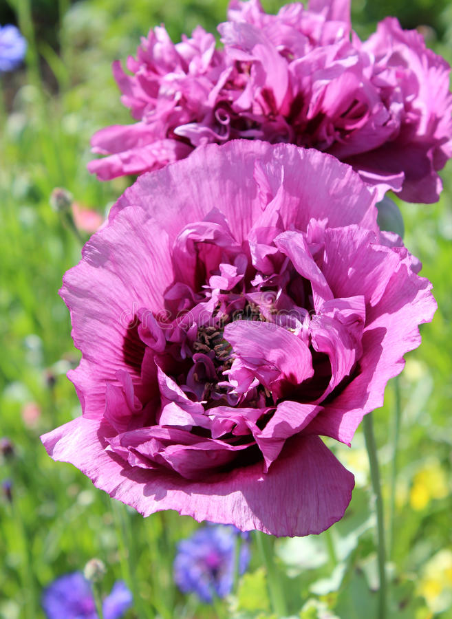 Purpurfärgad papaver - somniferum royaltyfria foton