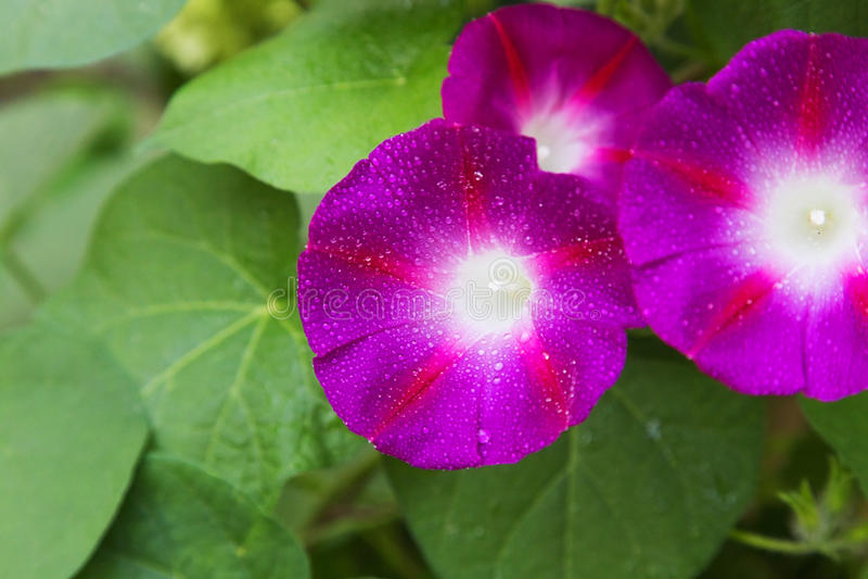 Purpurfärgad petunia royaltyfri foto