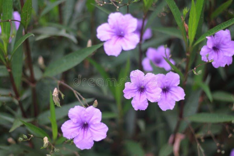 Purpurfärgad petunia fotografering för bildbyråer