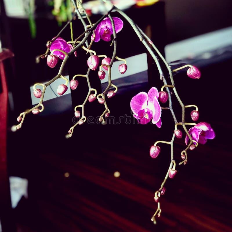 Purpurfärgad phalaenopsis arkivbild