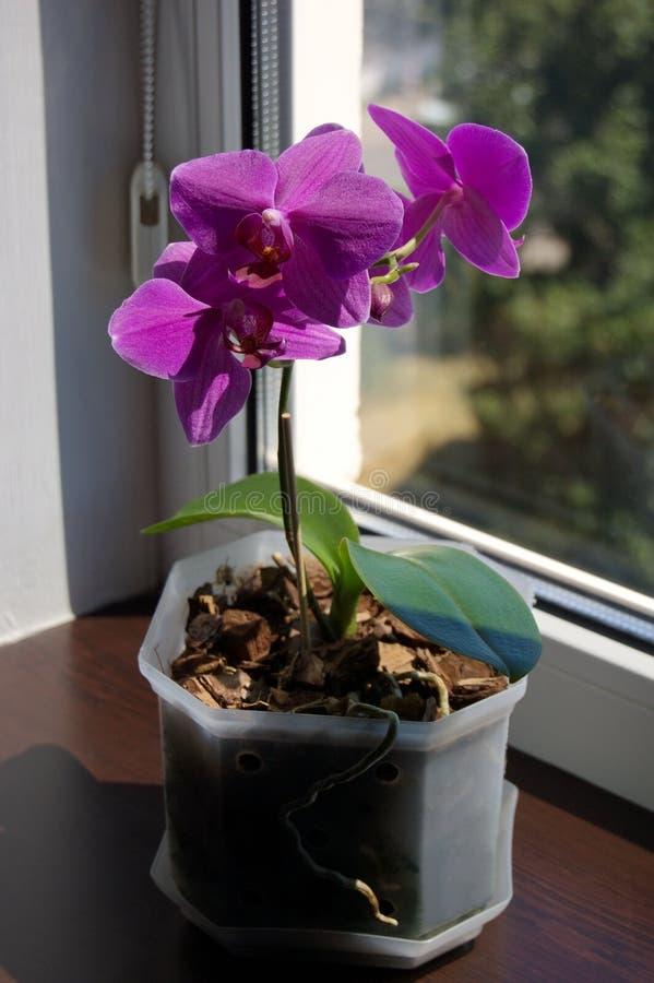 Purpurfärgad Phalaenopsis på en fönsterbräda fotografering för bildbyråer