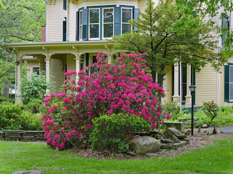 Purpurf?rgad rhododendronbuske i blom arkivfoto