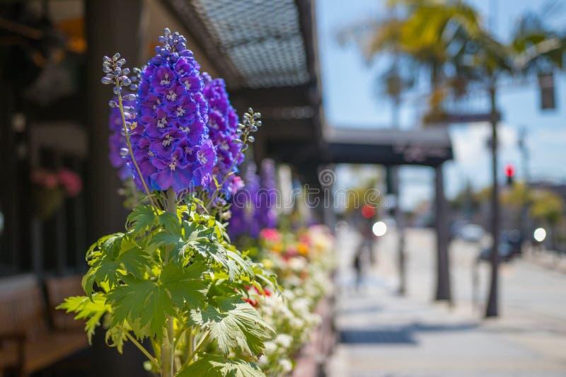 Purpurfärgad riddarsporre längs gatan i Manhattan Beach, Kalifornien royaltyfri foto