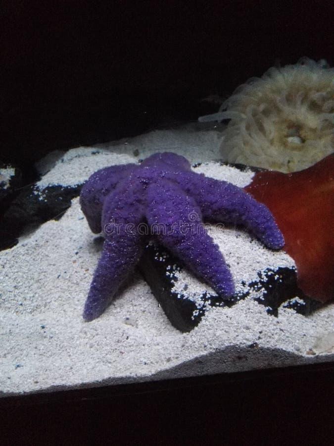 Purpurfärgad sjöstjärna på ferie royaltyfria bilder