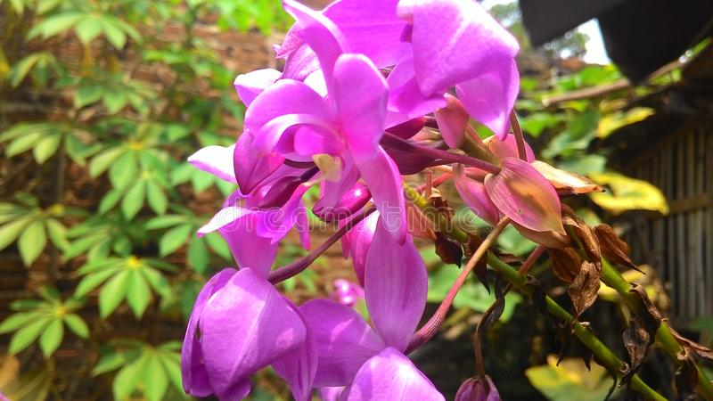 Purpurfärgad sommar för orkidéblomblomma i hus arkivfoto