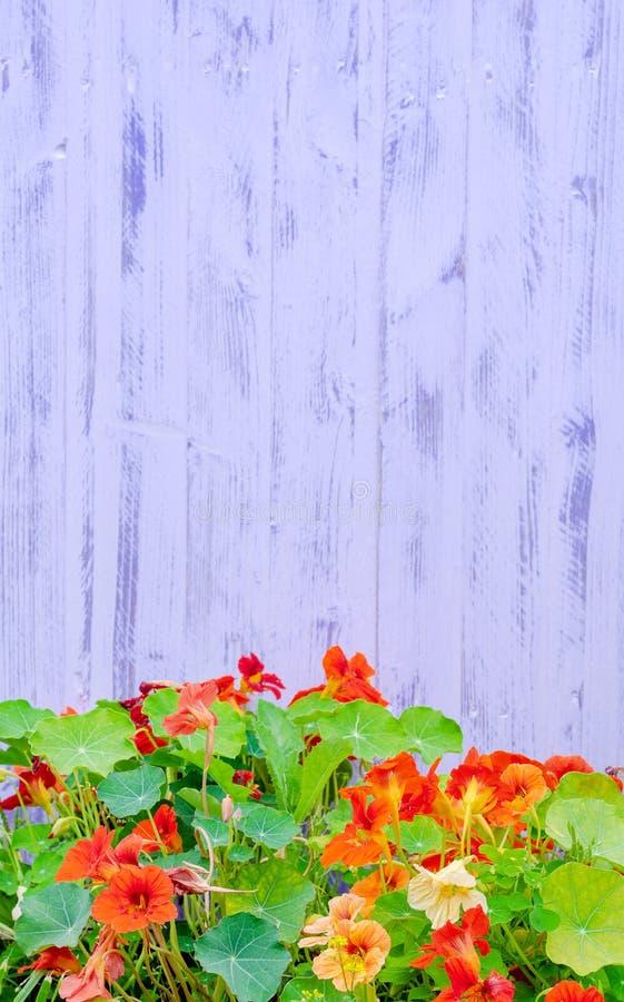 Purpurfärgad staketbakgrund för indiankrasse royaltyfri bild