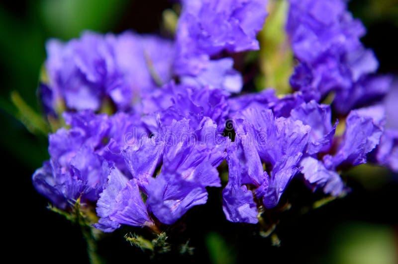 Purpurfärgad Statice closeup royaltyfria bilder