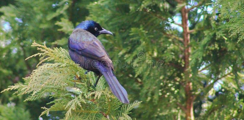 Purpurfärgad svala på en trädöverkant fotografering för bildbyråer