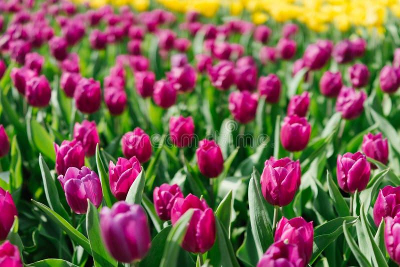 Purpurfärgad tulpan i trädgården arkivfoto