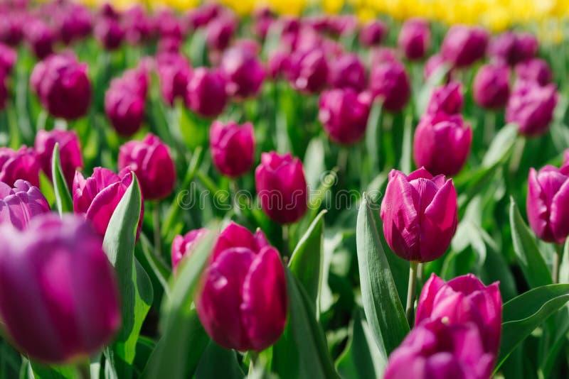 Purpurfärgad tulpan i trädgården royaltyfria bilder