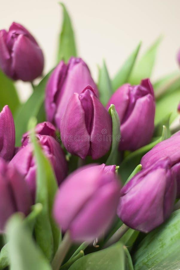 Purpurfärgad tulpanbukett stäng sig upp vårsommar Violet Flowers på vit bakgrund Lodlinjen avbildar arkivbild