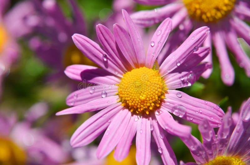 Purpurfärgad tusensköna med regndroppar arkivbild