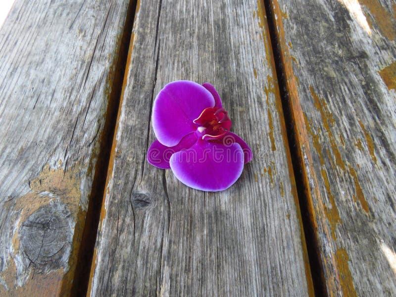 """Purpurfärgad ursnygg blom av Phalaenopsisorkidén med vita kanter, """"mothorchids"""" Härliga romantiska exotiska blommor arkivfoto"""