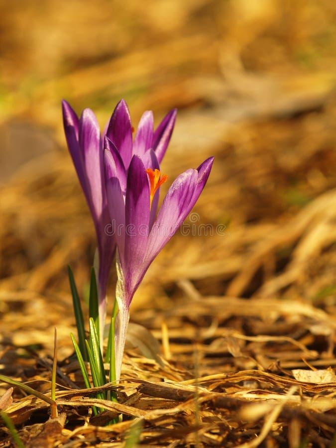 Purpurfärgad vårblomma med gröna sidor och stam- och solreflexioner i ängen Blomma krokus i en hem- tr?dg?rd royaltyfri foto