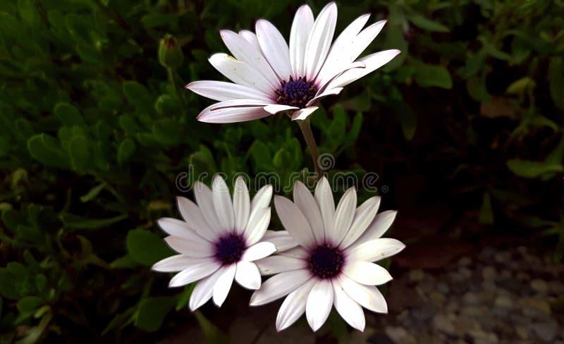 Purpurfärgad vit växt för blommor arkivbilder