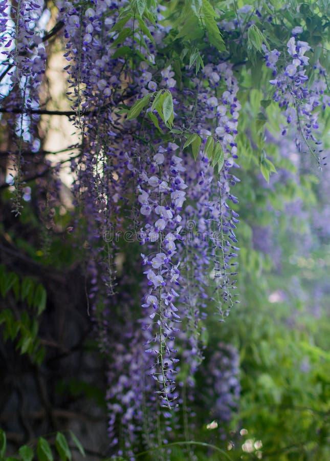Purpurfärgad wisteria i blomning arkivbild