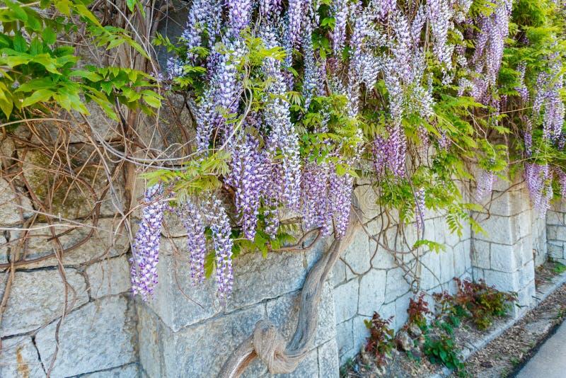 Purpurfärgad Wisteriablomma som spolar vid stenväggen arkivbild