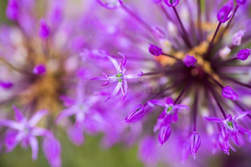 Purpurfärgade Alliumblommor för närbild Abstrakta naturliga violetta makrolodisar arkivfoto