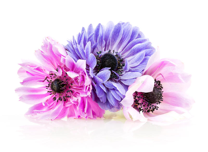Purpurfärgade anemoner fotografering för bildbyråer
