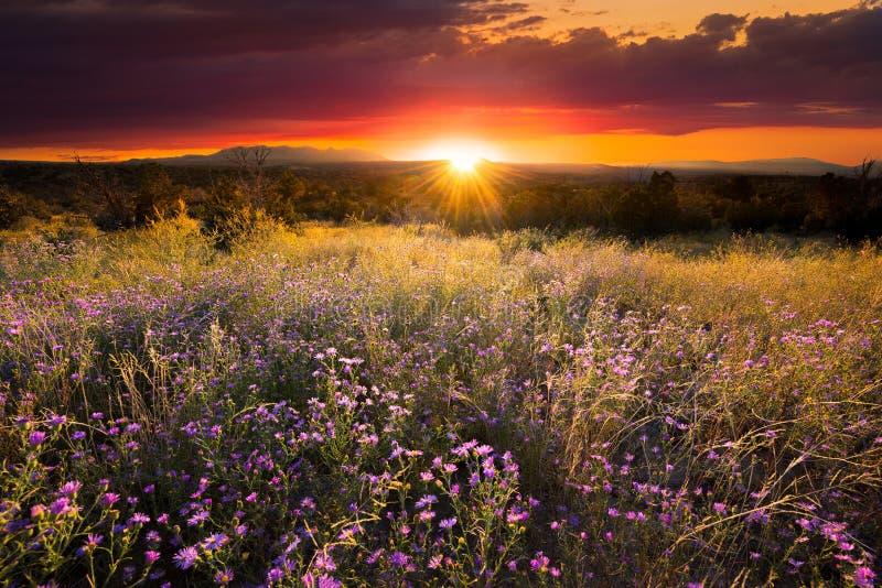Purpurfärgade aster på solnedgången arkivbild